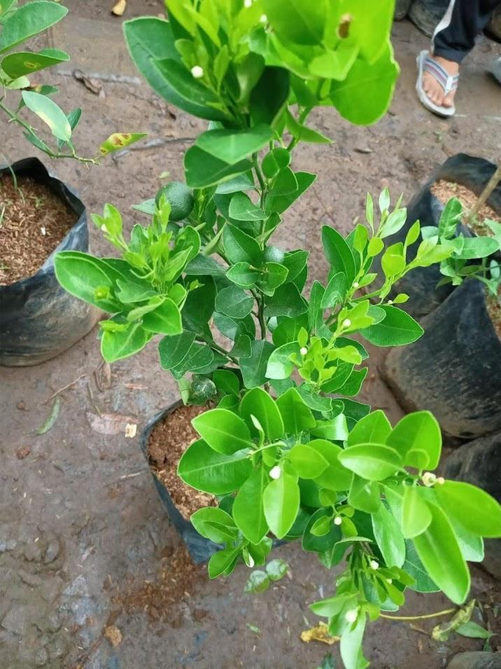 bibit pohon Tanaman buah jeruk limo sudah berbuah nipis purut bali lemon siam kip keep LIMAU Lampung