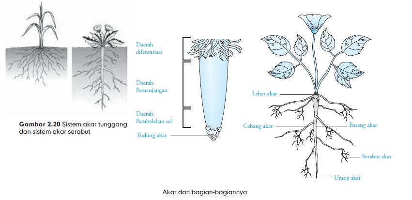 Akar Tumbuhan Fungsi Dan Bentuk Akar Akar Tunggang Dan Serabut Akar Dikotil Dan Monokotil Gambar Akar Tumbuhan