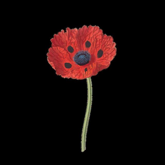 Orange poppy flower PNG  image