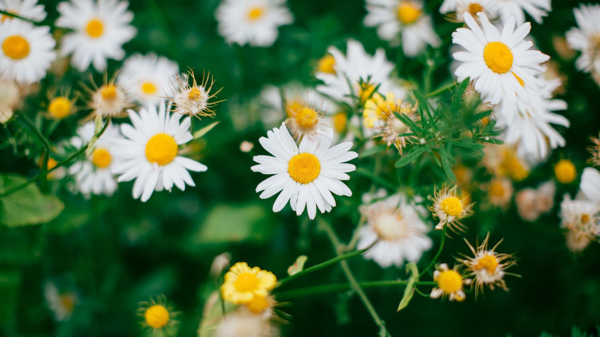 white chamomile flowers bloom 4k HD flowers Wallpaper
