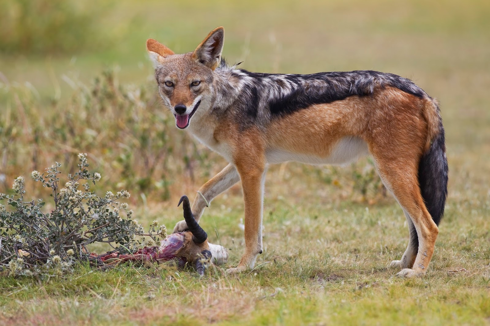 Mammals Animals: BB jackal