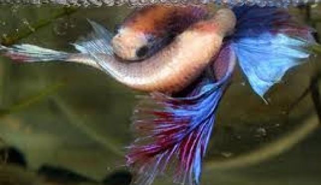 mengenal ikan cupang jantan dan betina