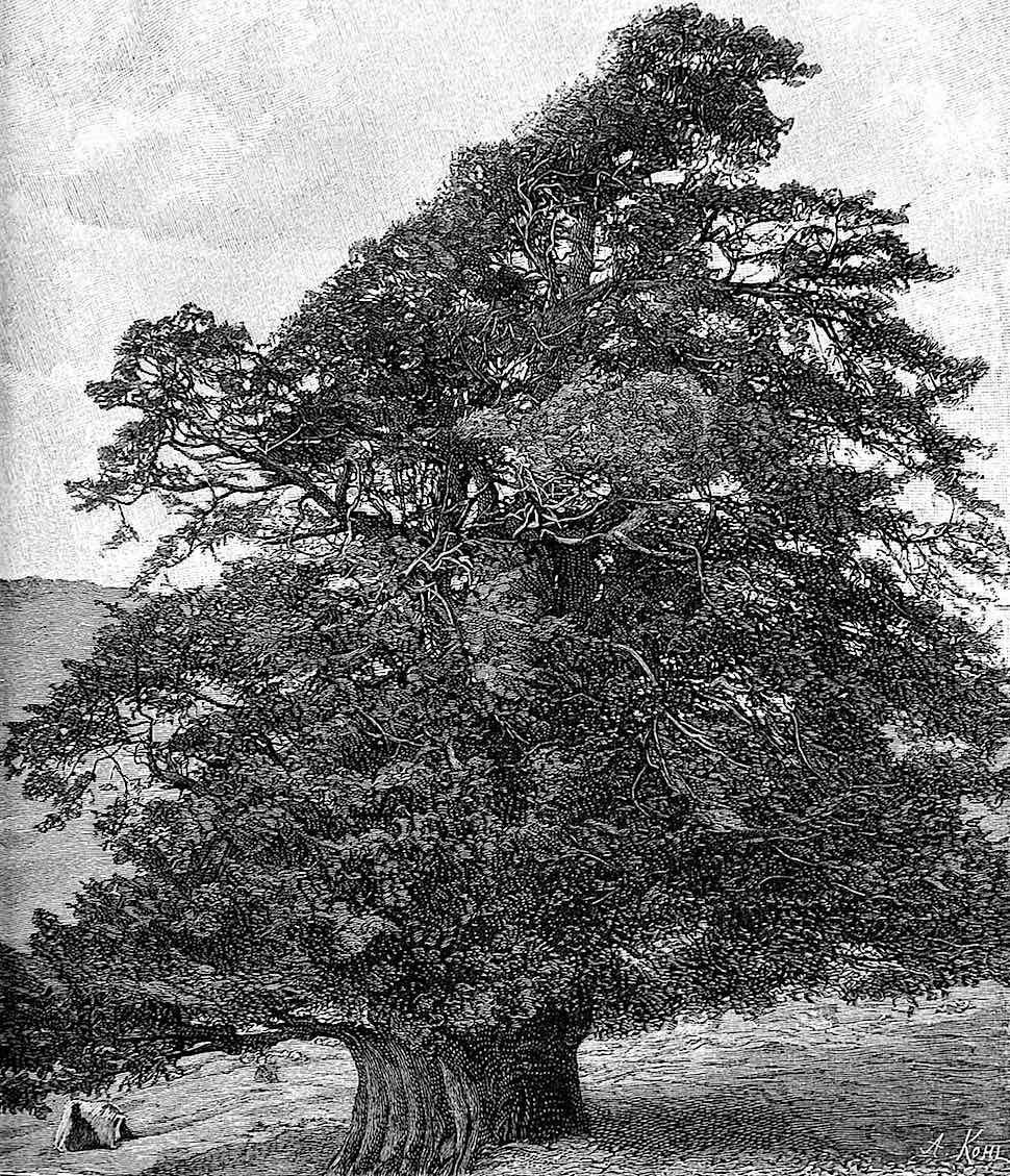 an old wild tree 1890