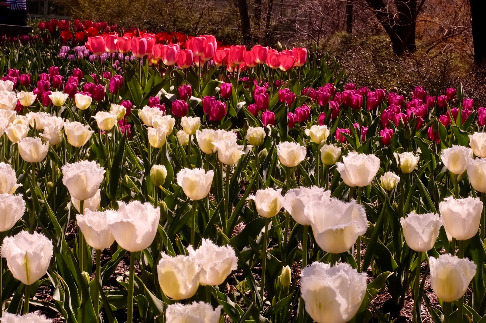 Cherry Blossoms & Tulips at the Brooklyn Botanical Gardens | Life ...