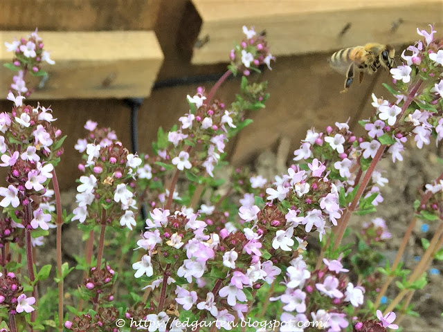 Blühender Thymian mit Biene