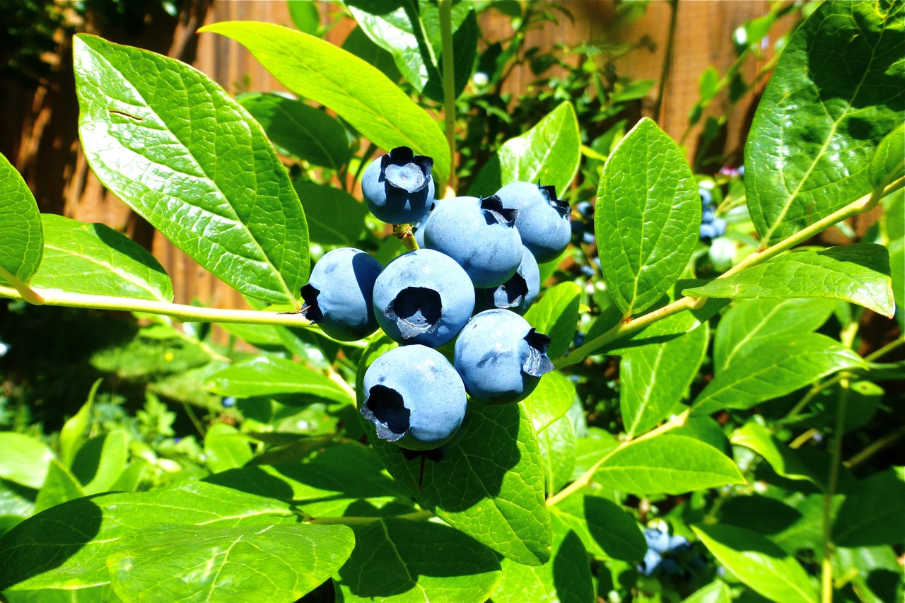blueberries, garden, fresh blueberries, sunshine, blueberries in sunshine