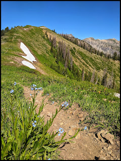 Forget Me Not Flowers on the Cascade Saddle