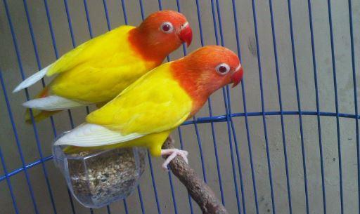 Lovebird Lutino : Ciri-Ciri Harga dan Foto