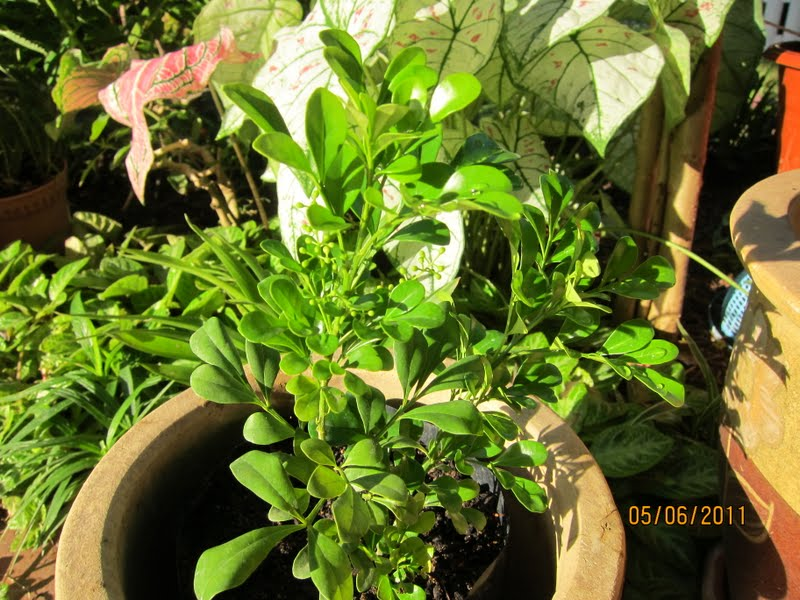 Shades of Grey: Aglaia odorata,