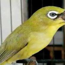Download MP3 Suara Terapi Burung Pleci Ngalas Nembak Dan Ngeplong