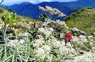 Pesona Bunga Edelweis, 'Bunga Abadi' yang Hanya Ada di Gunung