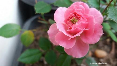 Interpretação Poema: Última Flor do Lácio - Olavo Bilac