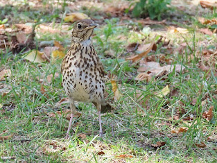 Song Thrush in Christchurch Priory grounds © Clinton Whale