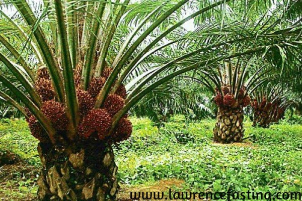 How To Start Oil Palm business in Nigeria