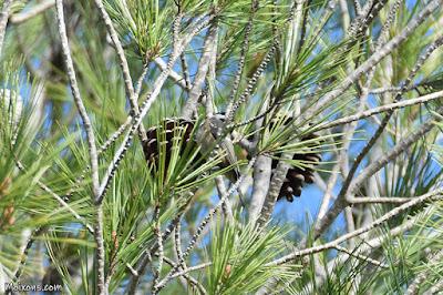Mallerenga petita (Periparus ater)