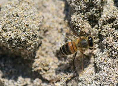 Bi som gräver i sanden