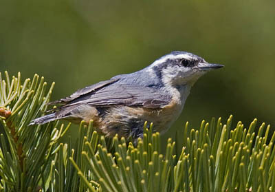 Photo of female Red-breasted Nuthatch on fir bough