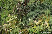 Bean-family tree seed pods - Makapu'u Point Lighthouse trail, Oahu, HI