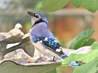 القيق أزرق Blue Jay