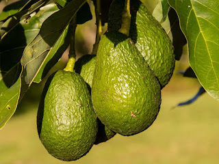 avocados on the tree