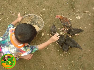 Vidio : Balita memberi makan ayam - ayam