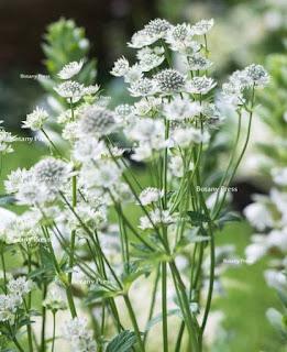 kwiaty w bukiecie Megan Markle astrantia