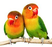 Cara Mudah ternak Burung Love Bird