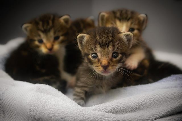 5 Cara merawat Anak Kucing yang baru Lahir agar tidak Mati