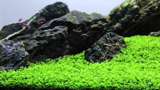 Micranthemum 'Monte Carlo'