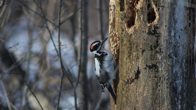 Woodpeckers show brain damage