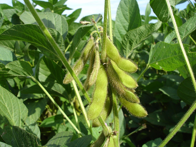 8 Benefits of Young Soybeans for Health