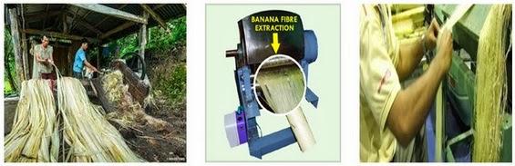 Extraction of Banana Fiber from bark of Banana plant
