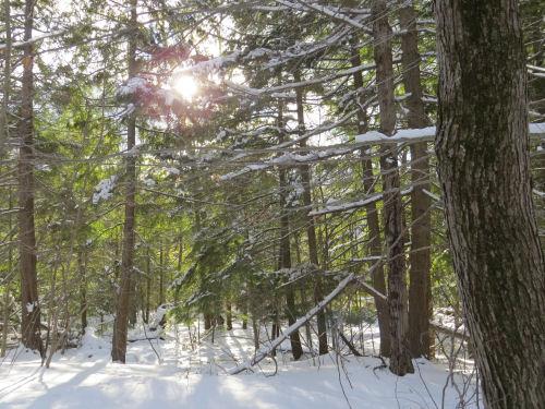 pine woods in winter