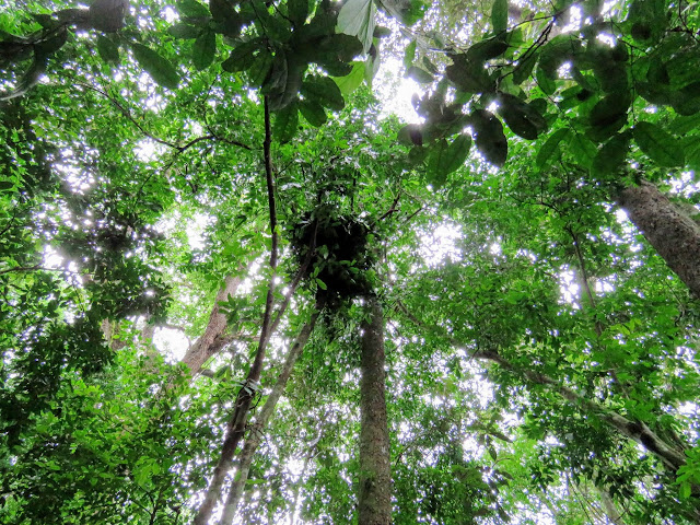 Chimpanzee night nests discovered on our habituation experience in Uganda