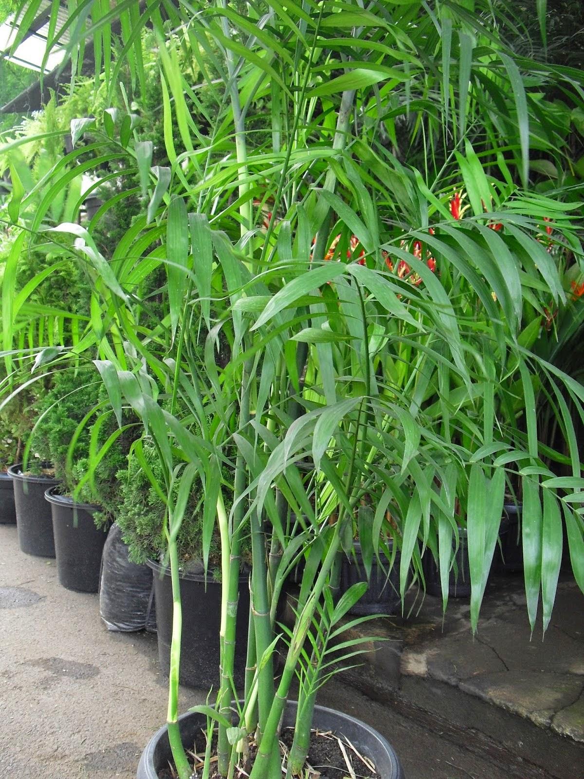 Jual Pohon Palem Komodoria | Jual Aneka Pohon Palem | Jasa Tukang Taman Dibogor