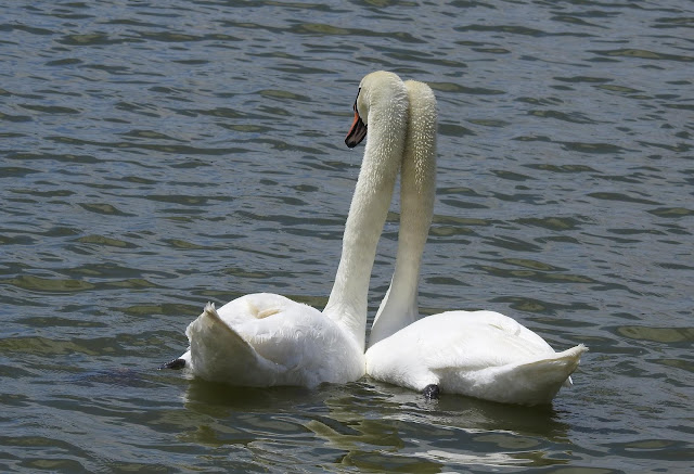 A pair of mated swans rubbing necks.