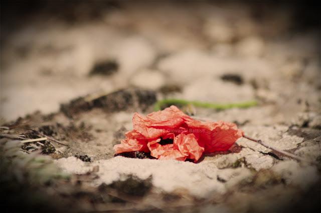 Fotografia di un tulipano rosso gettato a terra. Canon EOS 7D con Canon 70-300 f/4-5.6 IS USM