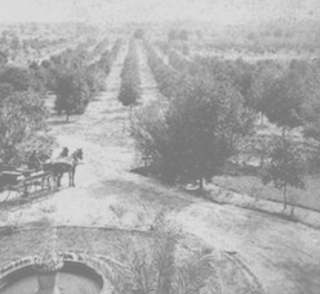 Period photo showing citrus grove in view taken from the front porch of DeBary Hall