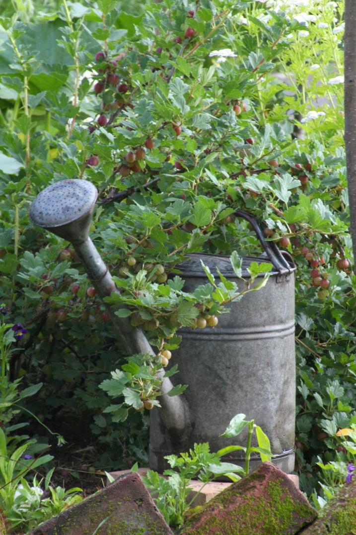 Naschgarten Stachelbeerstrauch lehnt sich an Zinnkanne an