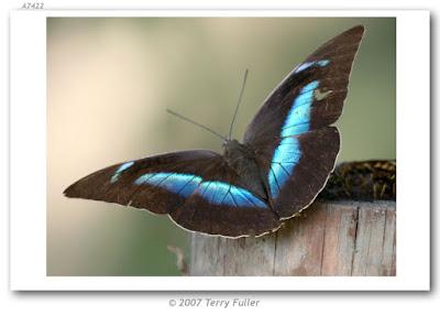 Mariposa demofón (Archaeoprepona demophon)