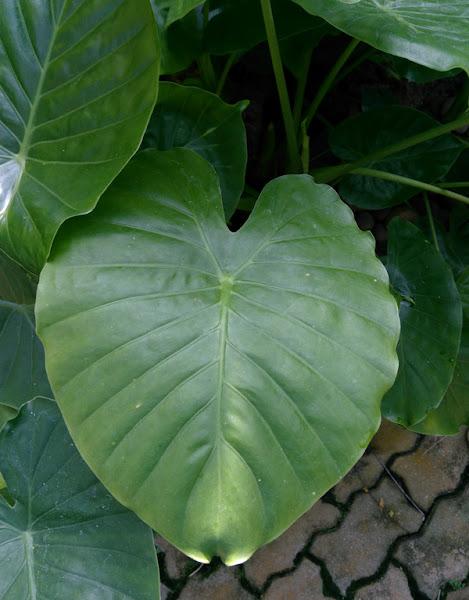 บอนขาว, กะเจาะ, ขอนขาว Alocasia acuminata