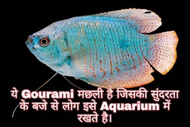 Gourami ओर Kissing Gourami मछली क्या है।