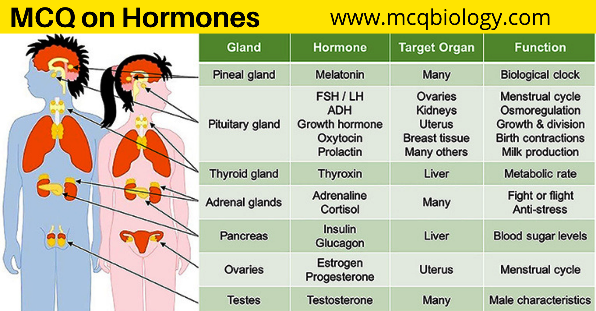 MCQ on Hormones -The Endocrine system