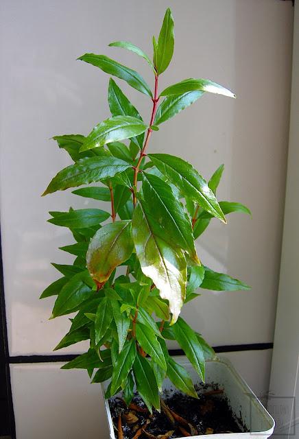 Granat właściwy (Punica granatum) z nasion, pestki, uprawa w domu w doniczce. Siewki granata po roku uprawy. Hodowla granatów w mieszkaniu.