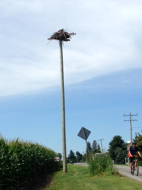 Osprey's nest, Rideau River Road
