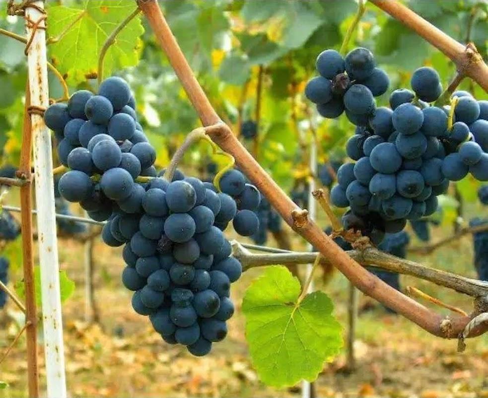 Paket 3 Bibit Anggur Isabella Jayapura