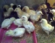 Ayam Kampung Organik Dan Keunggulan atau kelebihan beternak ayam kampung organik