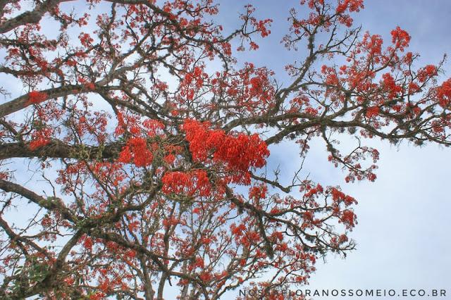 galhos-do-mulungu-erythrina verna-com-flores-vermelhas