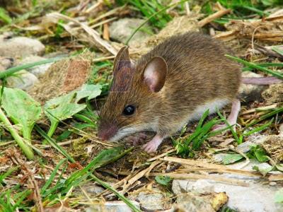 Hai cách diệt chuột đơn giản
