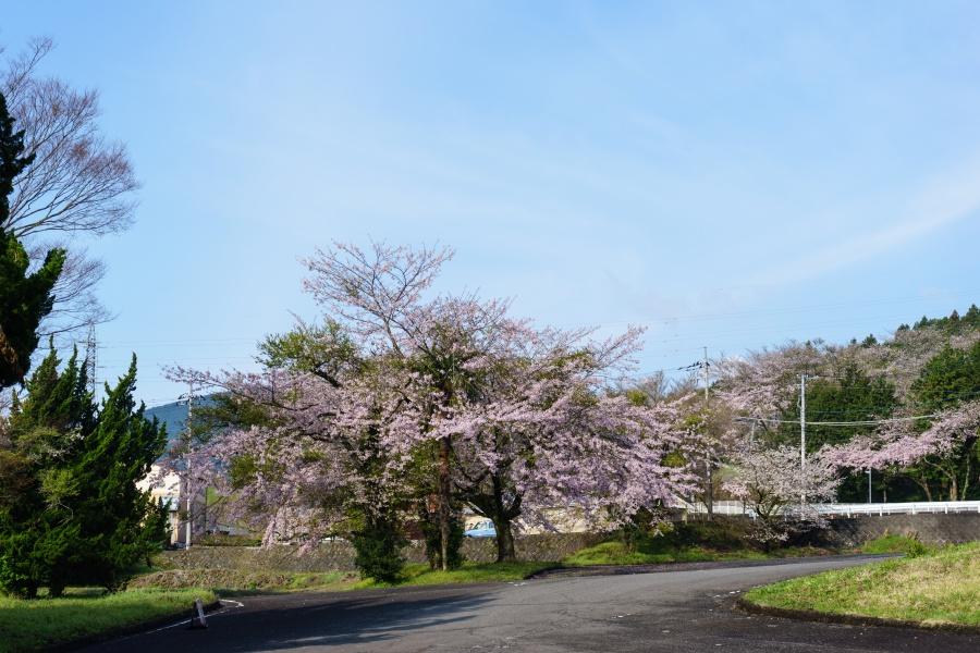 お鬢水入口周辺の桜